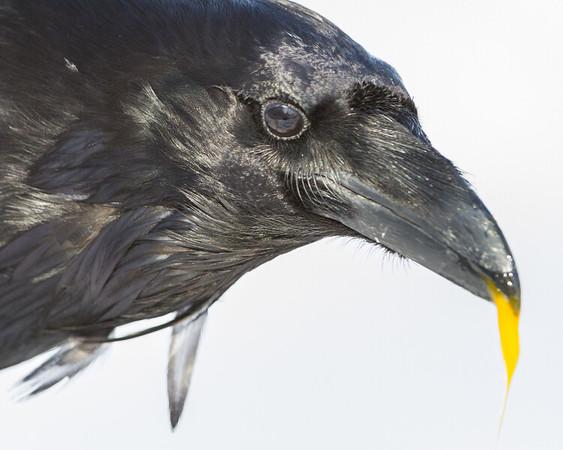 Head shot, Raven eating an egg. Egg yolk hanging from break. Tip of beak out of focus.