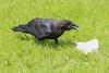 Juvenile raven eating lard.