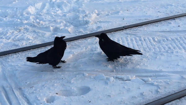 2016 January 21st. Two ravens along the tracks just south of Moosonee just before sunset.