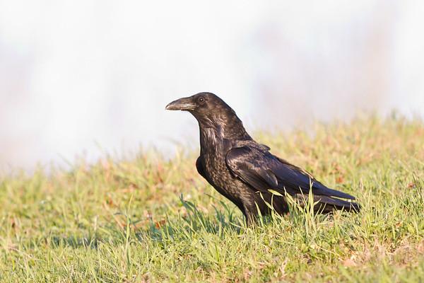Raven in grass.