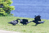 Adult raven with lard feeding juvenile ravens. Adult fly over to juveniles.