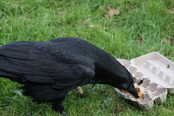 Sometimes eggs are stuck in their carton. A raven removes the contents of stuck eggs.