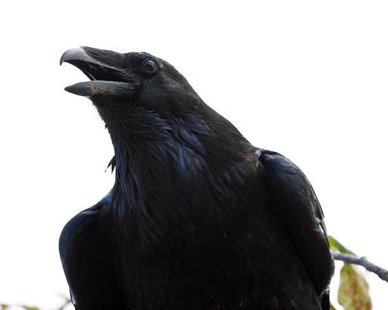 Raven sitting in tree, almost overhead, beak open.