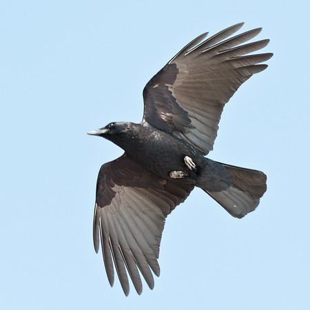 Crow overhead, wings bent