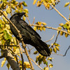 Raven in tree, head turned.