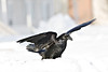 Raven in snow, wings up for balance