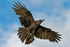 Raven in flight, overhead, wings out