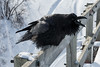 Raven on railing of railway bridge, beak open, calling out.