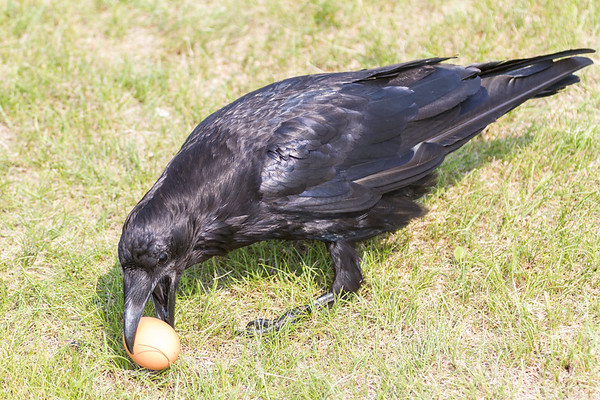 Raven preparing to pick up an egg. This is an adult, note black mouth.