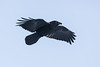 Raven in flight, Wings out, turning.
