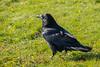 Raven in Moosonee on the grass.