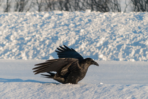 Raven has landed on soft snow 2005 January 25