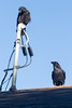 Juvenile raven on a service mast  and another raven on roof below.
