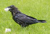 Wet raven with beak full of lard.