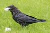 Wet raven with beak full of lard.