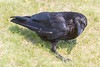 Raven in grass looking up by turning head. Tail and body out of focus.