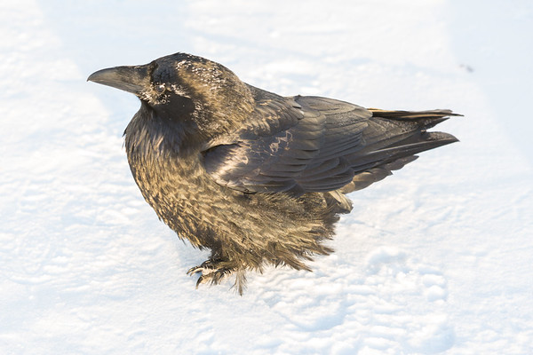 Raven on a cold morning on the snow. Feathers spread.