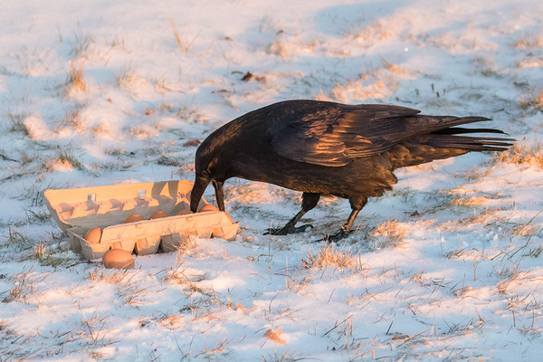 Raven selecting an egg from a carton on the snow.