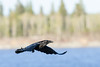 Raven in flight. Ove the river, wings out and tips curled.