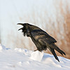 Raven on chunk of snow, calling