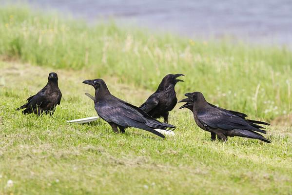 Raven lard preference test-five ravens.