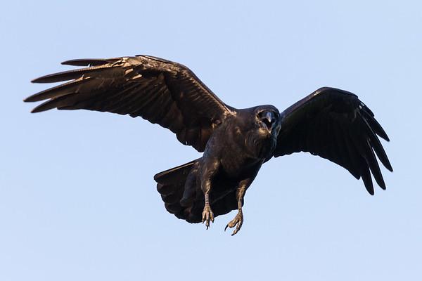 Raven in flight. Wings bent, beak open.