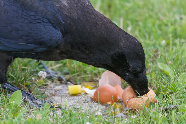 Juvenile raven eating a smashed egg.