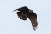 Raven in flight, wings bent down, tail spread.