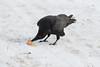 Raven enjoying an egg in the snow.