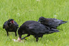 Adult raven eating meat while two juveniles watch, one with beak open.