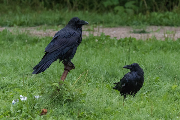 Two ravens, one on water shut off, in Moosonee on a wet morning.