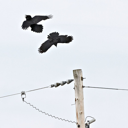 Altercation between crow (upper) and raven.