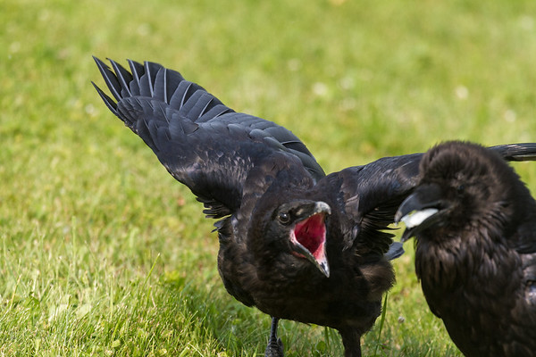 Juvenile raven screeching at adult (out of focus) eating.
