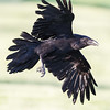 Raven, in flight, turning.