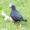 Raven walking away with a piece of lard.