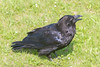 Adult raven on the grass, beak open, head turned away.