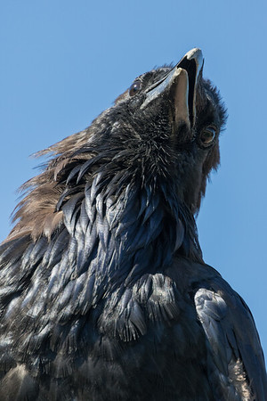 Raven on vent stack. Head shot.