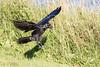 Raven near ground, wings up, feet down, beak open.