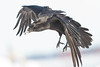 Raven, in flight, snow on beak, one wing tip out of frame.