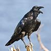 Raven standing on small stump.