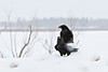 Two ravens on a snowbank, cropped, falling snow in frame.