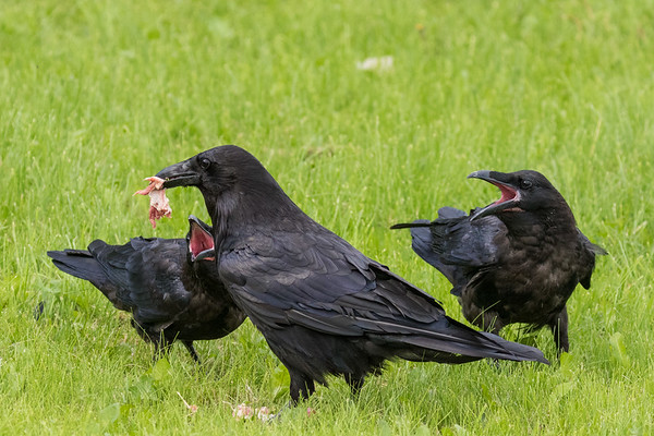 Adult raven with meat while two juveniles wait with their mouths open.
