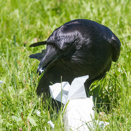 Raven opening a package of lard.