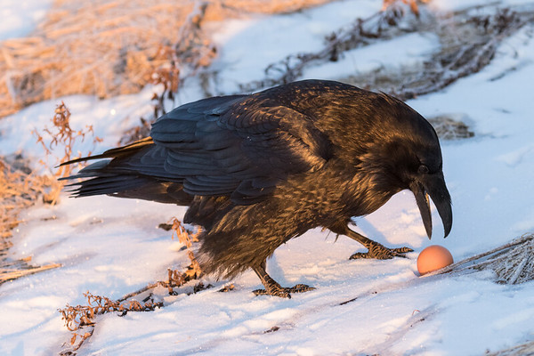 Raven examining an egg with apparent delight.