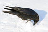 Raven examing chunk of snow upon which it is standing
