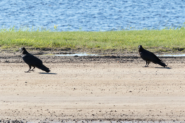 Two juvenile ravens along the edge of the road.