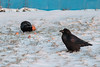 Two ravens come for Christmas breakfast.