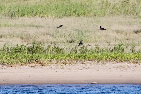 Three ravens on the sandbar.