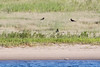 Three ravens on the sandbar.
