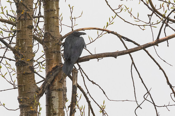 Wet raven in tree in the rain.
